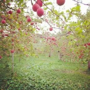 「果樹園 白雲」のりんご畑がとってもステキだった
