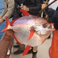 [み]回転寿司で大活躍の「代用魚」の代表格「アカマンボウ」とは?